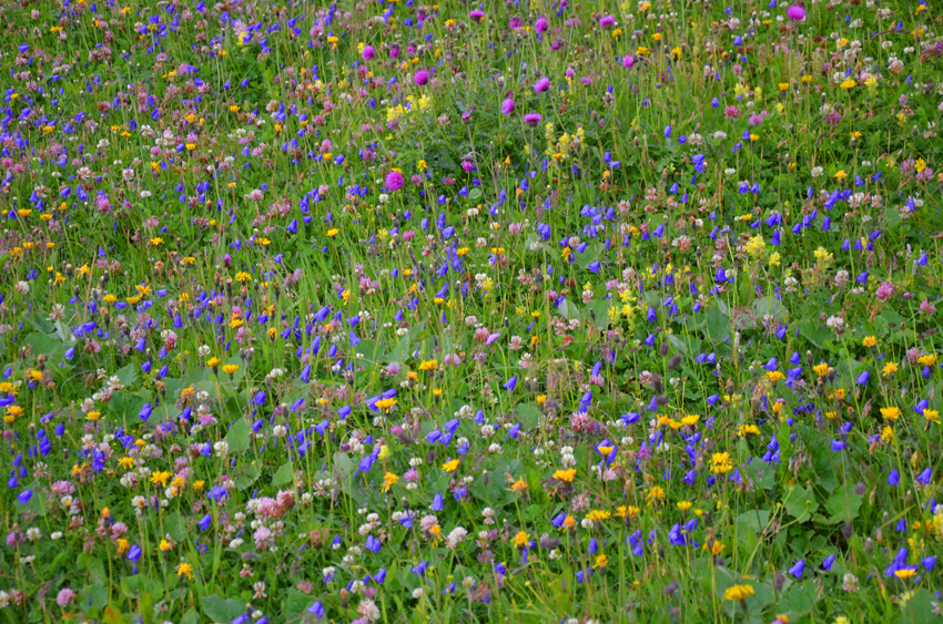 fiori-montagna-arabba