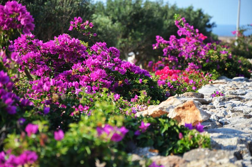 piante-buganville-mediterraneo-rosa